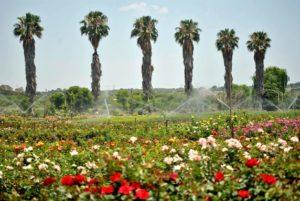 ludwig rose farm