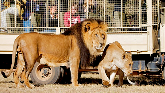 Lion Park What S On In Joburg