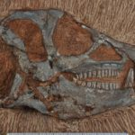 Dinosaur fossil found in SA finally scanned
